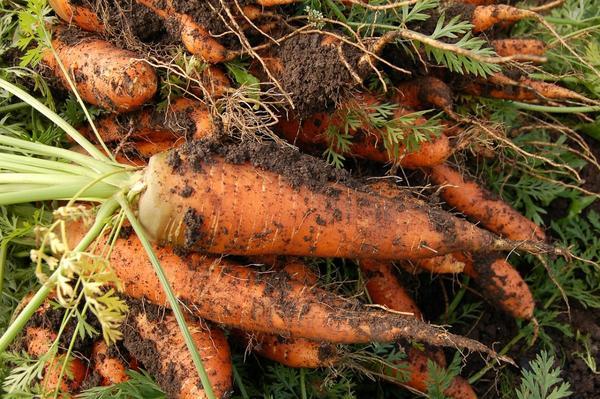 Необходимо ориентироваться на желаемые сроки сбора урожая