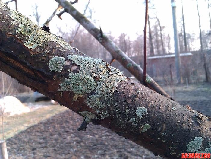 Надо ли счищать лишайники с деревьев?
