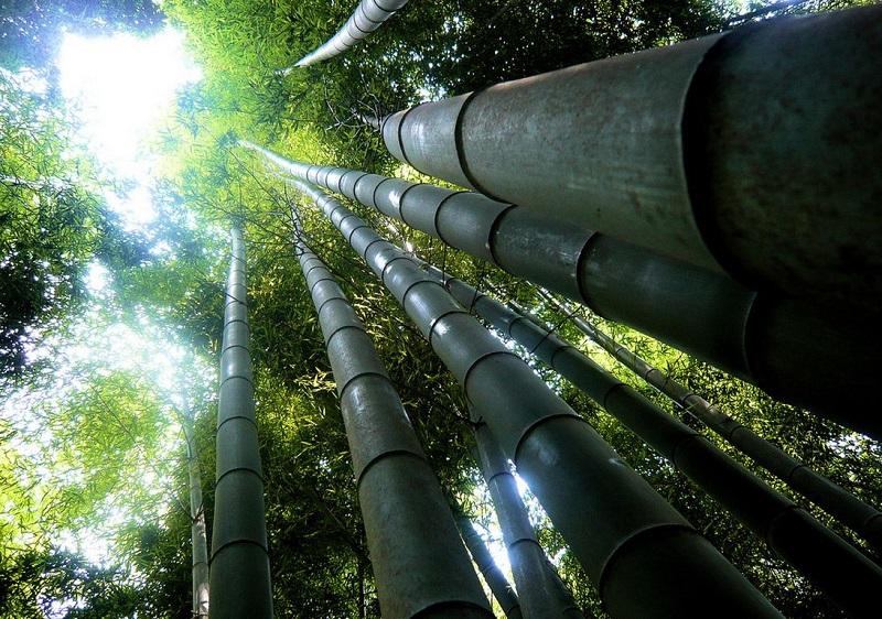 Бамбуковая роща Сагано. Высокие бамбуковые деревья.
