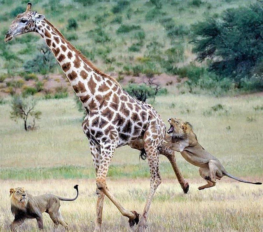 Молодые львы удачно поохотились на огромного жирафа