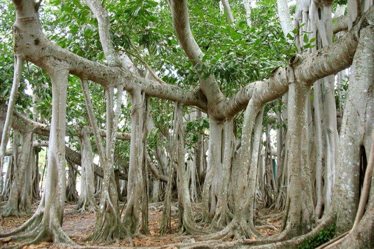 Великий баньян — национальное дерево Индии, дерево тысячи стволов
