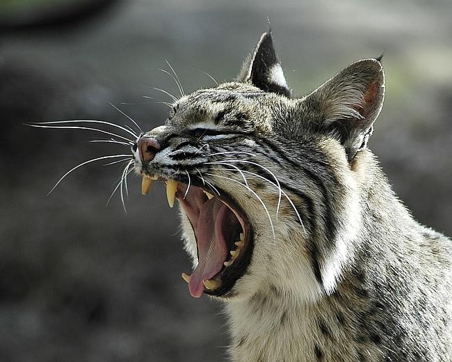 В Башкирии будет открыта охота на рысь