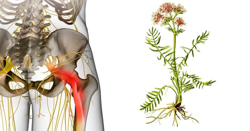 Домашние методы борьбы с ишиасом: массаж, корень валерианы и другие способы побороть воспаление седалищного нерва