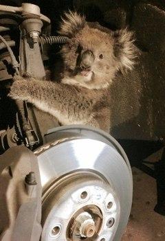 В австралийском городе Аделаида водитель кроссовера нашел коалу, которая проехала 16 километров, держась за подвеску его машины.