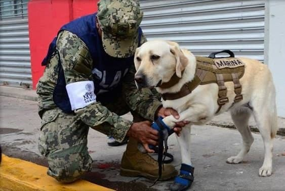 Эта служебная собака из Мексики за короткое начало карьеры спасла уже 52 человека