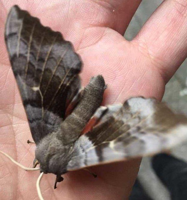 Гигантские озабоченные мотыльки заполонили Британию бабочки, брачный сезон, живая природа, жизнь насекомых, мотыльки, насекомые, нежданные гости, природная аномалия