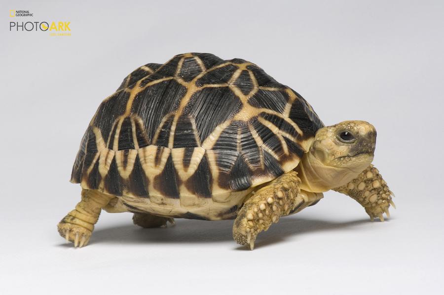 Бирманская черепаха