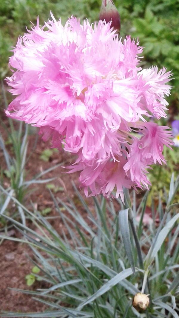 Цветы из розовой сказки — гвоздика многолетняя