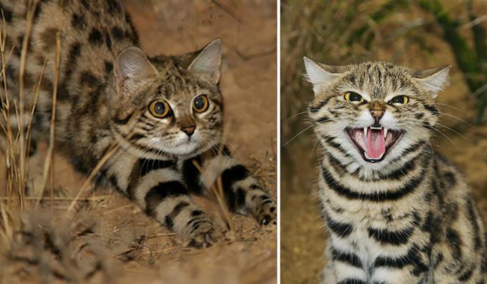 Mиниатюрные черноногие кошечки - самые эффективные убийцы среди всех кошачьих