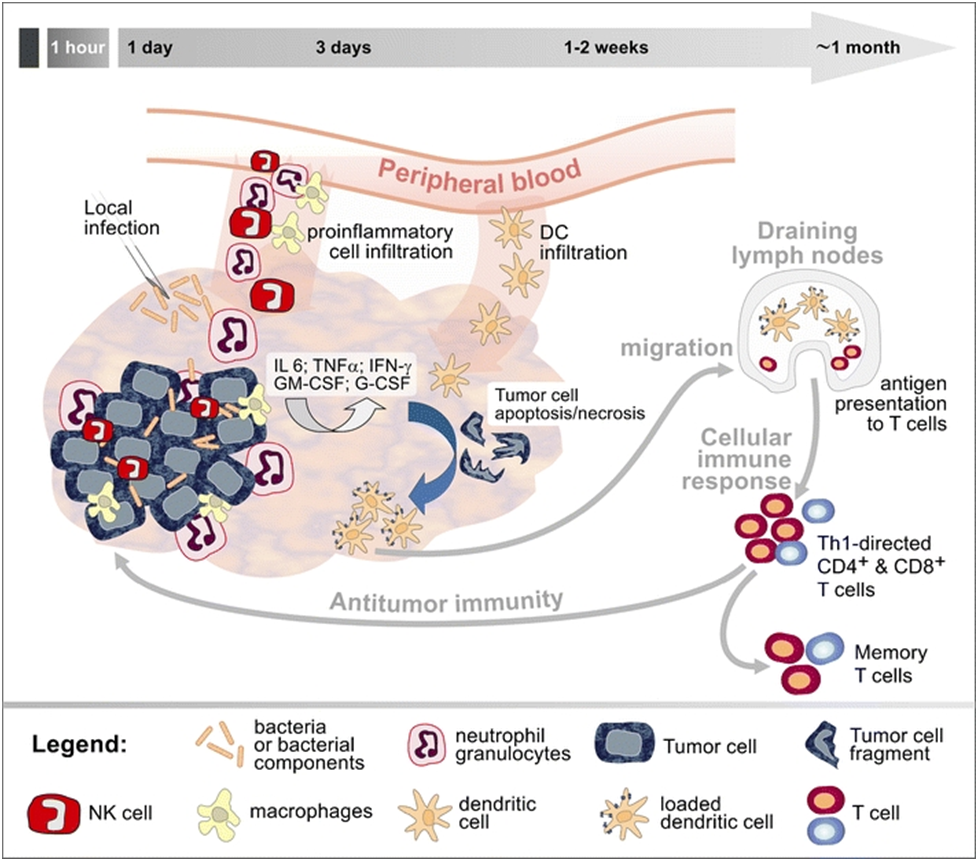 Общая схема бактериолитической иммунотерапии пол Линнебахеру (2012). Показано формирование противоракового иммунитета примерно через месяц после локальной инъекции живой бактериальной вакцины в область опухоли.