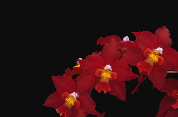 5230261_orhideya_dop_plus_6 (700x459, 105Kb)
