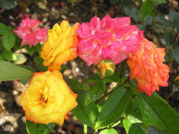 Роза сорт Крымский Самоцвет