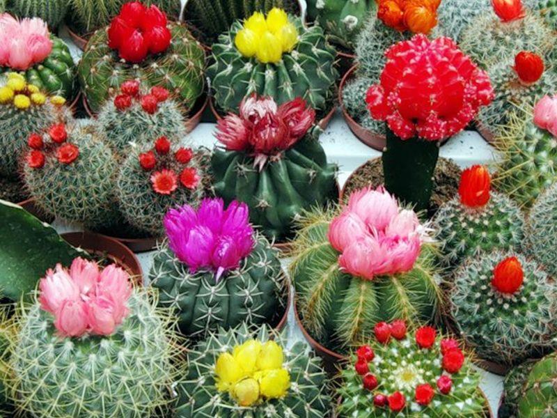 Коллекция кактусов, их виды, классификация