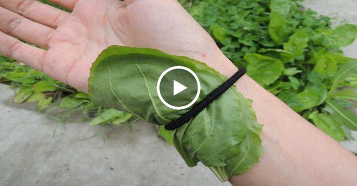 Маленький сорняк — скорая помощь от геморроя, высокого сахара и плохого холестерина, избавит от шрамов и многое другое