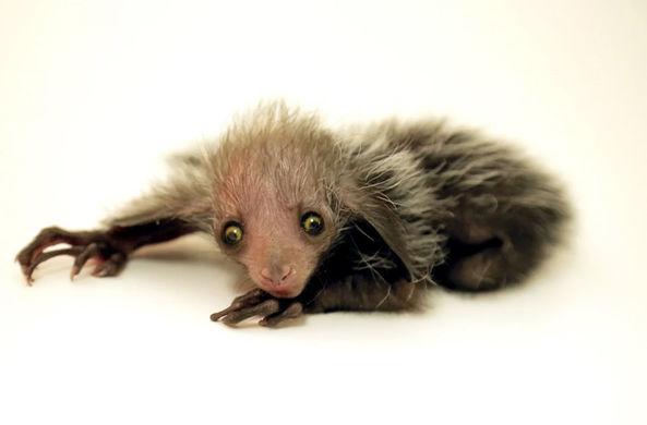 Зоопарк Денвера показал новорожденную руконожку