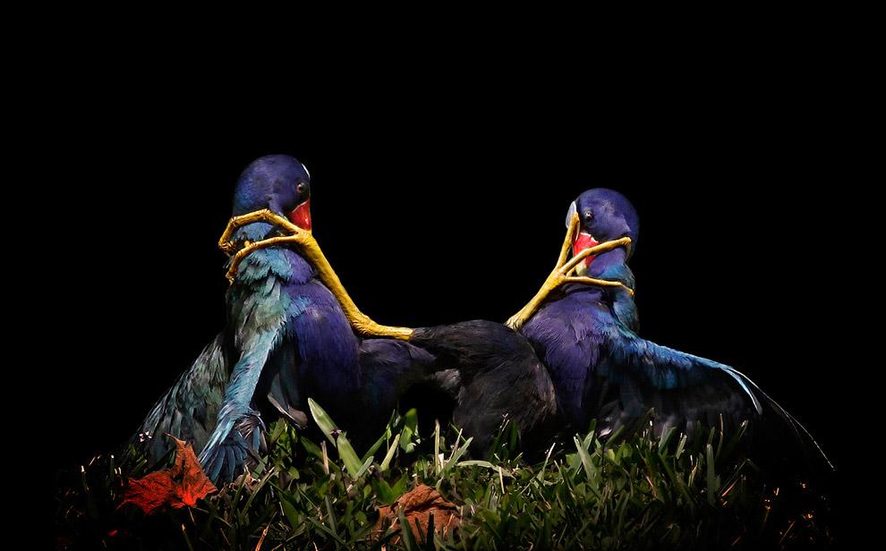 Победители птичьего  конкурса Audubon  Photography Awards  2015