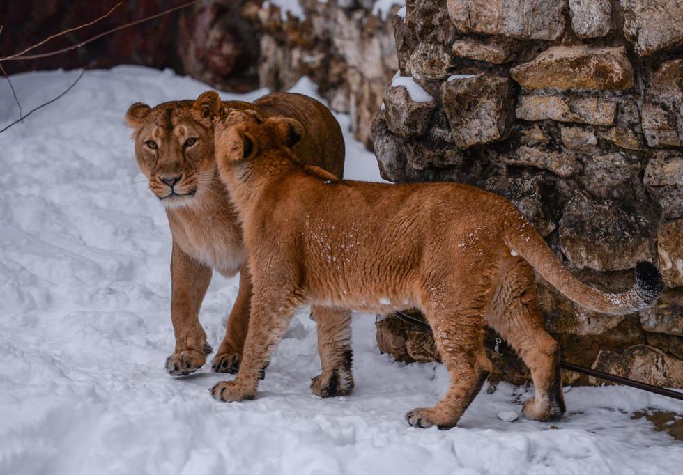 Львы в Московском зоопарке. Фото: © РИА Новости/Евгений Одиноков