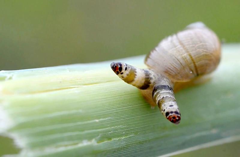 7. Leucochloridium paradoxum выживание, жизнь, паразиты, природа, смерть