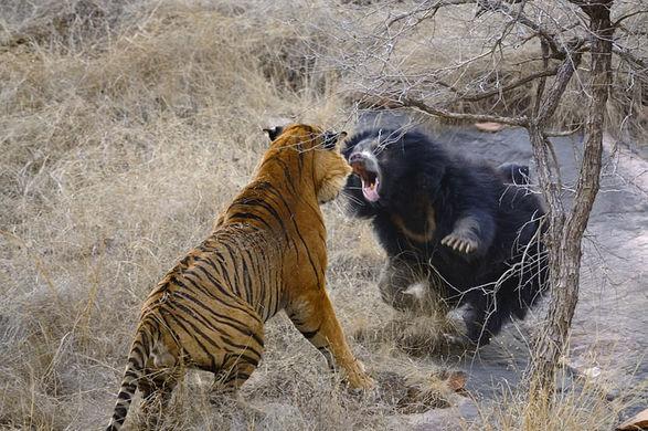 Отважная медведица дала отпор паре тигров и защитила детенышей