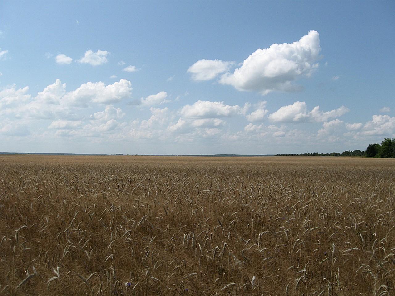 Поле, хлебное поле