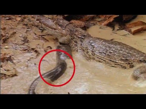 Электрический угорь обездвижил огромного крокодила