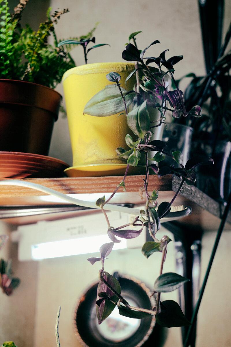 Размножаем традесканцию: пушистый куст из одной ветки