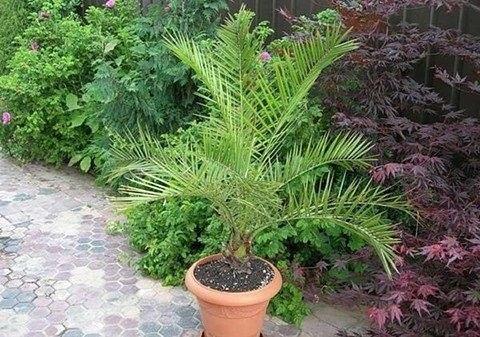 Выращиваем из косточки финиковую пальму