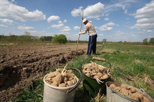 Картошка: готовимся кпосадке