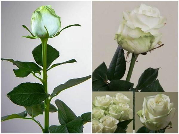 Как выбрать свежие цветы и как продлить жизнь букету?