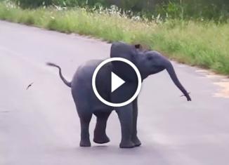 Слонёнок играет с низко летающими ласточками в догонялки