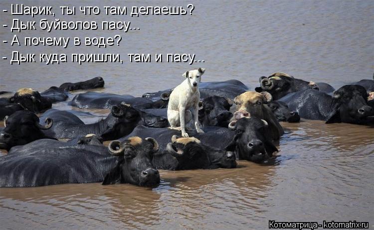 Котоматрица: - Шарик, ты что там делаешь? - Дык буйволов пасу... - А почему в воде? - Дык куда пришли, там и пасу...
