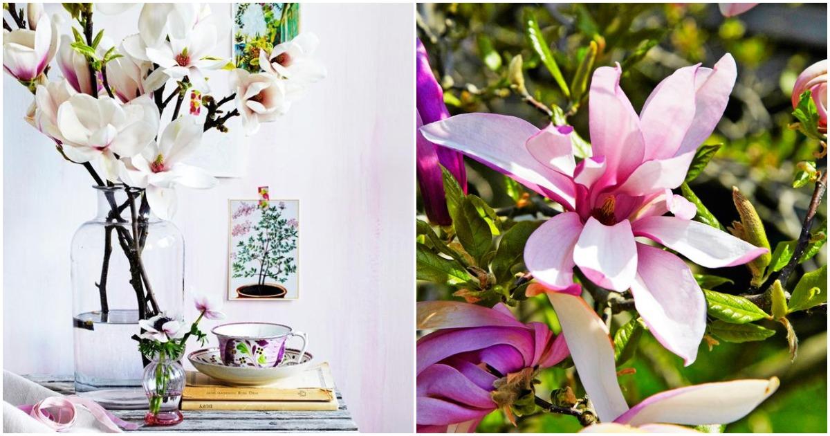 Невероятной красоты магнолия: советы, которые помогут вырастить такую красоты в вашем саду