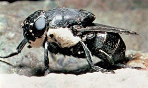 Самая опасная муха в мире