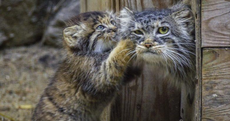 Удивительная история манулов, которых выкормила домашняя кошка