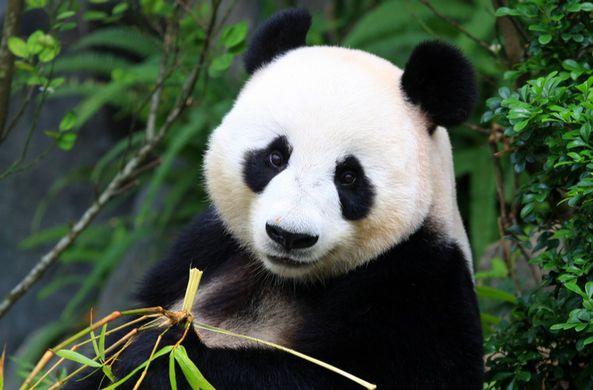 Московский зоопарк рассказал, когда лучше всего смотреть на панд