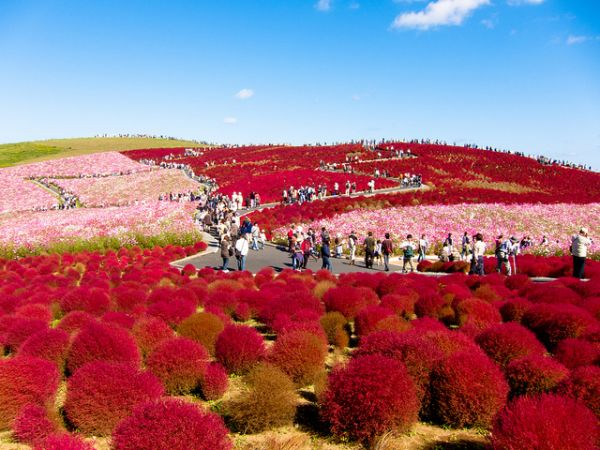 Японский сад цветов «Hitachi Seaside Park»