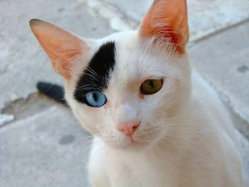 Heterochromia15 Разноглазые кошки