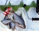 Ловля леща в середине зимы на водохранилище
