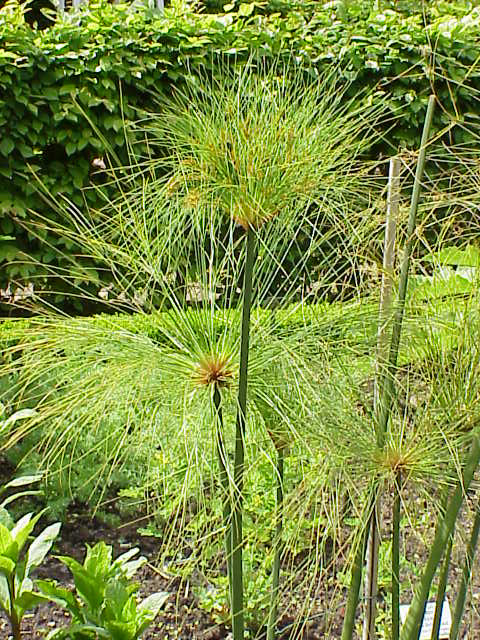 http://www.esacademic.com/pictures/eswiki/67/Cyperus_papyrus6.jpg