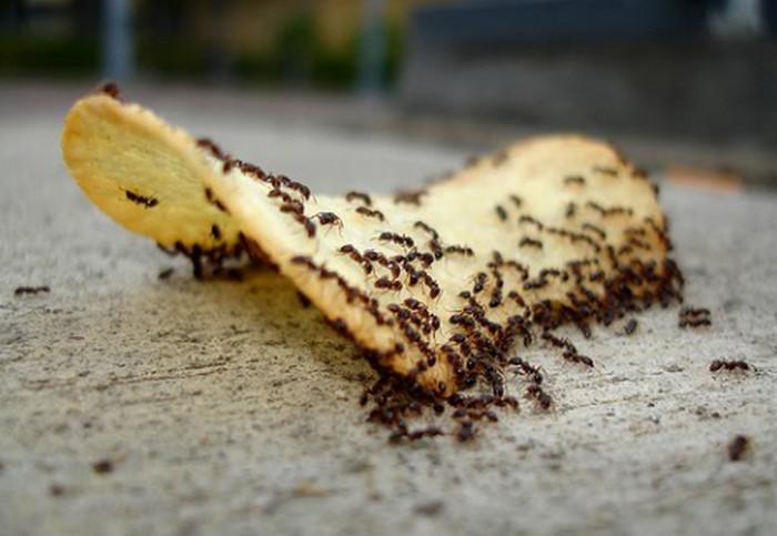 муравьи едят чипсы