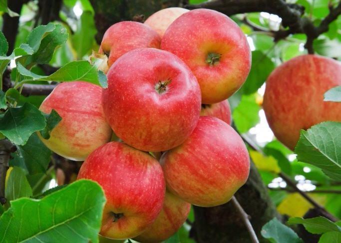 Как регулировать урожайность плодовых деревьев