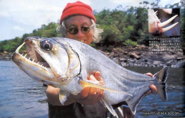 серьезные рыба бояра где водится определить, какой группе