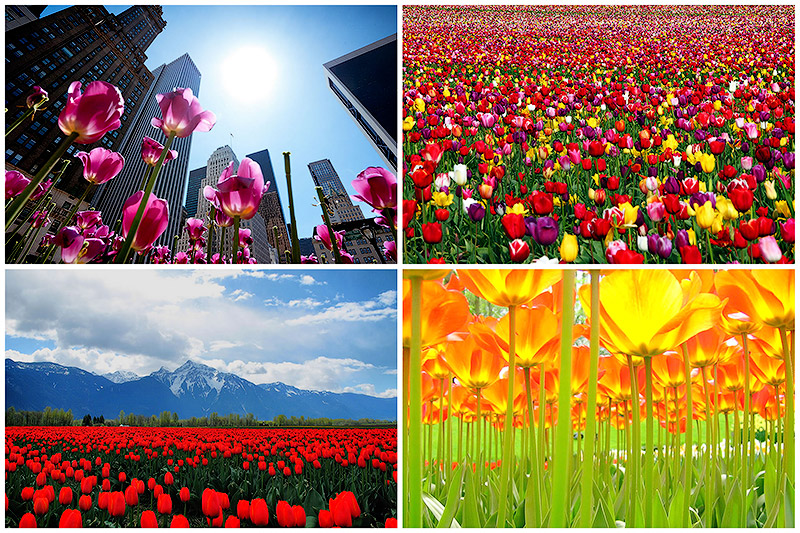 BIGPIC20 Самые яркие тюльпаны со всего света