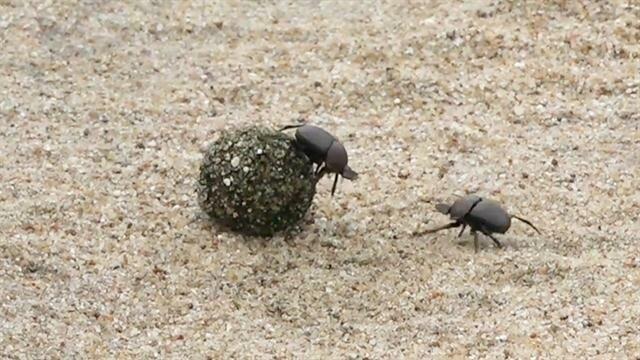 Два навозных жука дерутся эпичнее, чем в Mortal Kombat