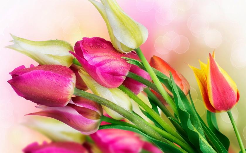 тюльпаны, бутоны