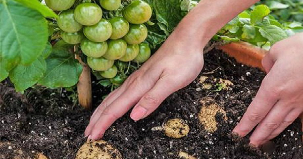 Картошка с помидорами. с одного куста НОВОЕ ПРО НОВОЕ