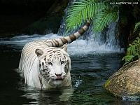 Белые тигры 33