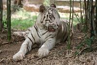 Белые тигры 15