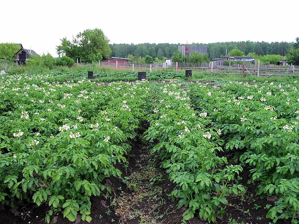 Как реанимировать землю после картофеля. Снова плодородная, снова большой урожай!