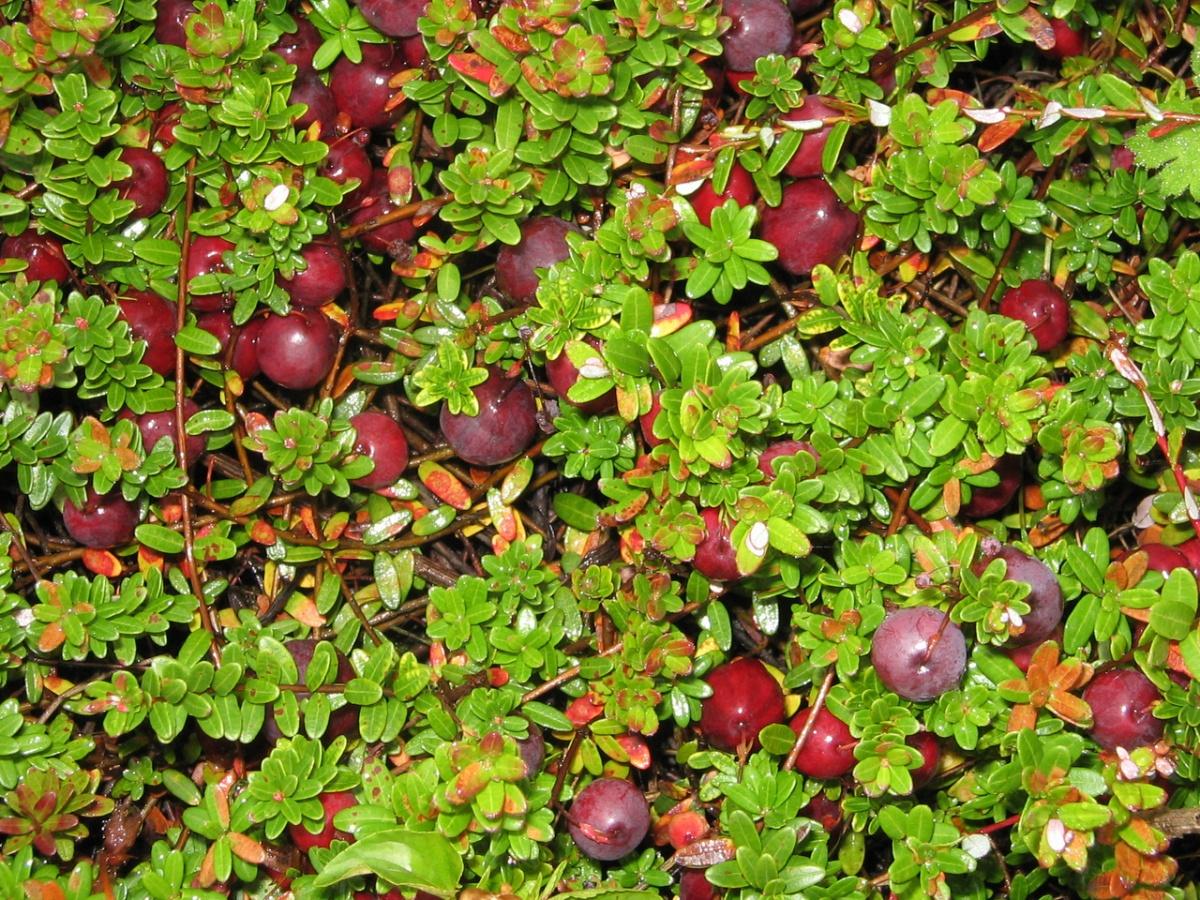 Клюква: сорта, выращивание и уход 35
